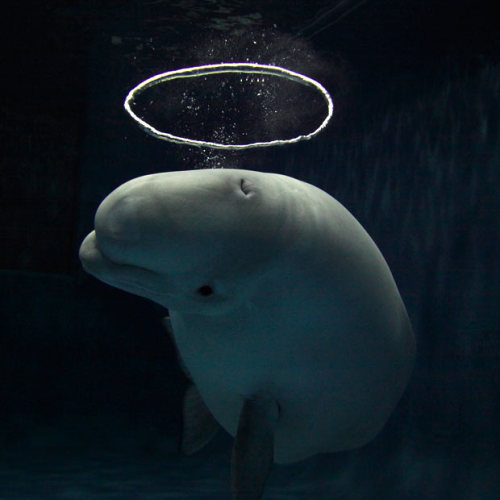 "mountaindr3w:  theanimalblog:  Telegraph A Beluga whale has become a sensation at an aquarium after learning how to blow halo-shaped bubbles. The extraordinary sight was captured on camera by photographer Hiroya Minakuchi at the Shimane aquarium in Japan. He said: ""This beluga started making bubble rings when she was seven. And a couple of years ago she developed her technique. Now she blows the water from her mouth to make a current, which is not visible for us underwater. She then blows air from her blow hole into the current and that makes a ring shape.""  BELUGEY AWHH MY FAVE xox"