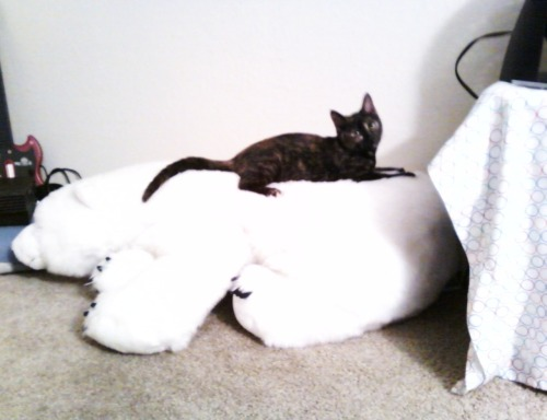getoutoftherecat:  get off of there cat. polar bears are not chairs. you should be nicer to him cat. he's going extinct you know.