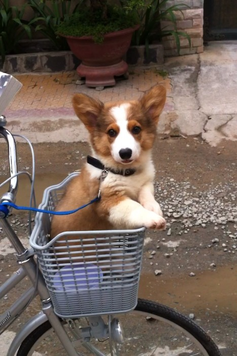 corgiaddict:  George first roadtrip in a basket Submitted by Rizka