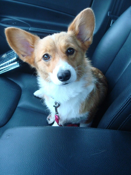 Corgi co-pilots can be dangerous… how could you possibly keep your eyes on the road with this beauty beside you?!