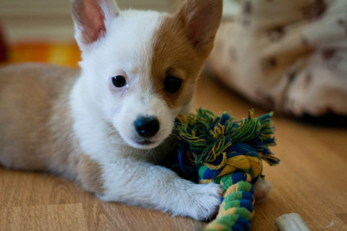 Corgi puppy love. Dawwww