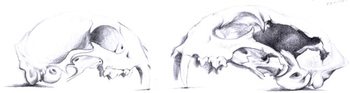 Sept 20 Bio Sci museum specimen sketches. Lynx (Lynx canadensis) on the left, vs bobcat (Lynx rufus) on the right, showing some subtle diagnostic characteristics.  Lynx skulls tend to be rounder, with shorter, thinner canines; bobcat skulls tend to be longer, with proportionately longer and thicker canines.  Of course, if you've found a random skull and have nothing to compare it to, that's all moot.   BUT there is an easy way to tell what you have: take off the mandible and gently set the skull on a flat surface.  Get down so you can see where the skull makes contact with the surface. Lynx skulls will rest on the tips of the canines and the occipital condyles (the bone 'lip' around the opening at the back of the skull- this is where the atlas, or C1 vertebrae would articulate with the skull). Bobcat skulls will rest on the tips of the canines and the tympanic bullae (the round bulges that contain ear parts). Random tidbit: the caracal (Caracal caracal) used to be considered part of the Lynx genus until recently.  I have a caracal skull in my own collection and it rests like a lynx skull. (The size difference depicted between these two particular specimens shouldn't be considered diagnostic.  I chose the (adult male) bobcat because of the large hole in the cranium that let me see some structures inside.  The lynx was an uncharacteristically small adult female I chose because it was adorable.)