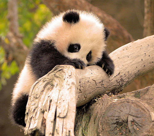ruineshumaines:  Little Zhen Zhen is a very determined little panda climber! (by kjdrill)