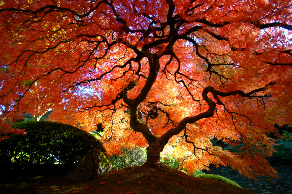 photojojo:  Japanese Maple in the Fall (by Gigapic) This post is by Surfer Dude as part of Photojojo's Show & Tell week.