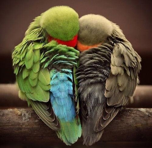 little lovebirds
