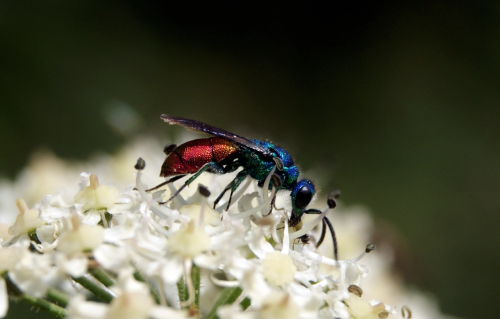 animalworld:  RUBY TAILED WASPChrysis ignita© http://journey-end.tumblr.com Ruby tailed wasps or Cuckoo Wasps are 'parasitoids' meaning that they eventually kill their hosts. Chrysis ignita parasitizes Mason Bees - the  females lay their eggs in the same nest as mason bees, so, when the  ruby-tailed wasp larvae hatch, they feed on the mason bee larvae. Ruby tailed wasps do have a sting but it is not functional and most species have no venom.  Other posts: Jewel Wasp or Cockroach Wasp Tarantula Hawk Wasp Jewel Wasp —- ohscience:  By http://journey-end.tumblr.com :) (submitted by ^)