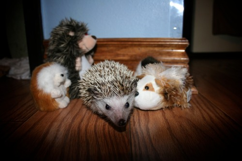 onebizarreme:  Hedgehog Party!