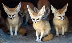 unlikelywords:  Fennec foxes (by floridapfe)