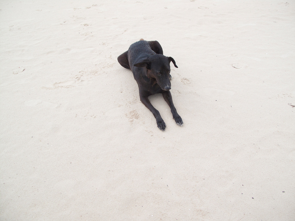 Black dog, Chaweng Beach.