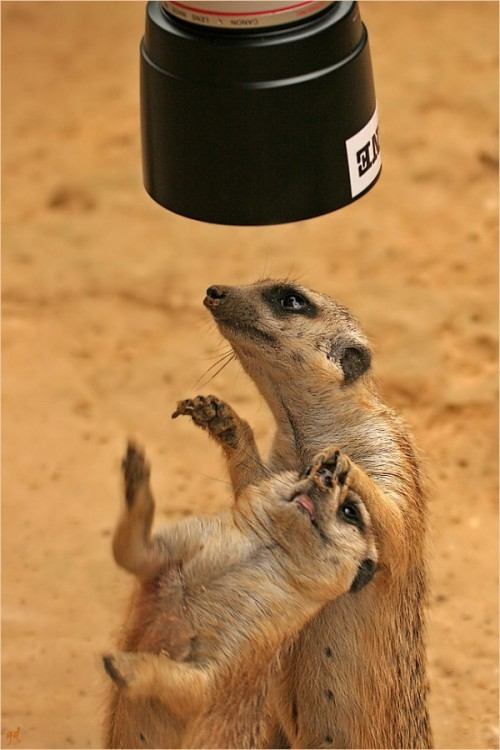 llbwwb:  Camera Hog by Ocical. Wants to be a Movie Star:)  Meerkats are too cute