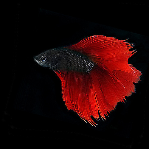 coffeenuts:  ~ Scarlet Red Betta ~ by pattpoom on Flickr.