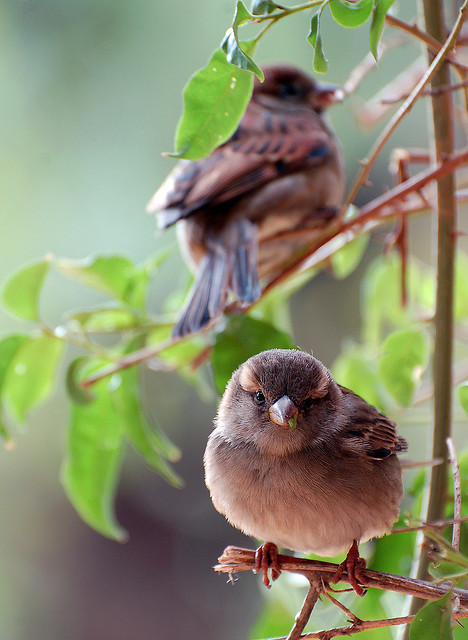 fat-birds:  Sparrows by Mini Mel on Flickr.