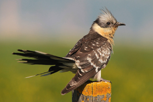 projectsentinel:  Clamator glandarius :: Great Spotted Cuckoo