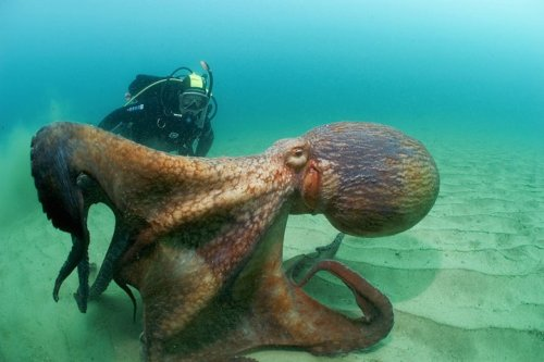 itsjbro:  i want to see an octopus like this while diving!