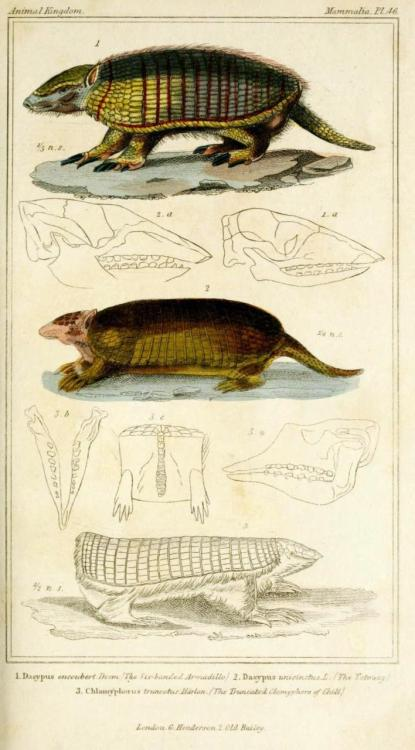 "biomedicalephemera:  Six-Banded Armadillo, Tatouay, Truncated Clamyphore of Chili  The ""Truncated Clamyphore of Chili"" is what we now know as the pink fairy armadillo, and the tatouay is also known as the Greater Naked-Tailed Armadillo. These are all South American armadillos. The one North American armadillo (the nine-banded) is the coolest one, in my opinion. They always have identical quadruplets, because shortly after fertilization, the egg splits into four. Basically, it's exactly the same thing that happens in humans when identical twins are formed, but each half splits again. They're the only mammals that reliably manifest this trait, called polyembryony. The Animal Kingdom, Arranged According to its Organization. Serving as a Foundation for the Natural History of Animals and an Introduction to Comparative Anatomy. Baron Cuvier, 1837."
