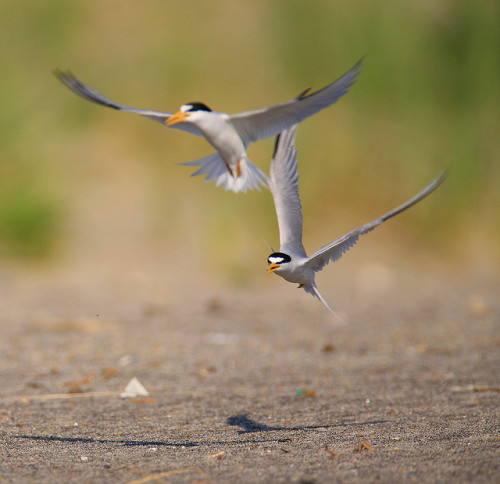 Endangered Species-Least Terns by William  Dalton on Flickr.The Least Tern is on the United States Endangered Species List. Pictured are two fighting over a nesting site. Their nests are little more than small cavities in the sand where they lay two or three eggs. Their numbers are down due to loss of habitat and predations of their nest and young.