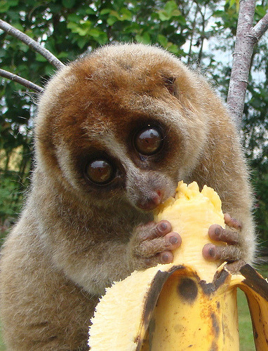 I guess another raw foodist ! LOL ! t-i-g-e-r-p-r-i-n-c-e-s-s:  Slow loris