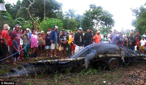 Villagers capture world's largest crocodile, which weighs one ton and is 21ft long.