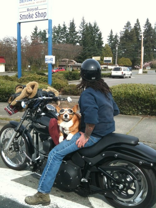 corgi is ready to ride!