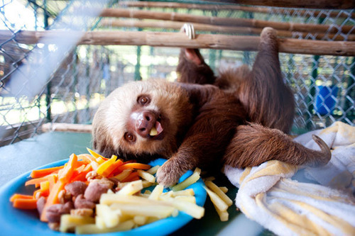 wtfswerve:  r3turn-the-favour:  obeygubler:  I think I was a sloth in a previous life.  can i PLEASE HAVE ONE OMFG  OMFG AW
