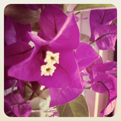 Purple bougainvillea   #flower #nature #purple #iPhone  (Taken with instagram)