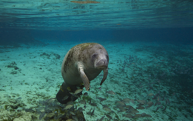 100leaguesunderthesea:  Manatee at Crystal River in Florida by alastair.pollock on Flickr.