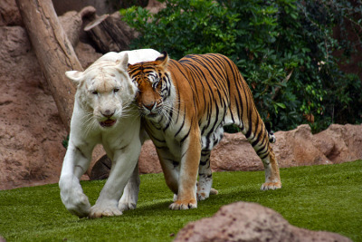 llbwwb:  Tigers by Davidgois