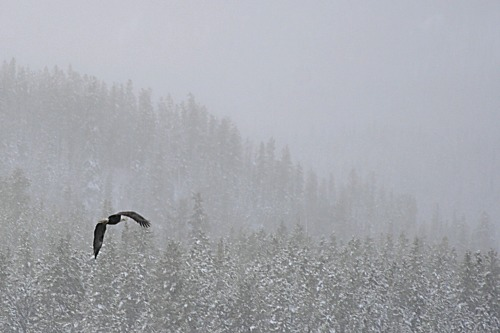 The Fish Lake Road is a fantastic spot to watch bald eagles and it has the added advantage of being just 10 minutes out of town. This picture is from last winter and am hoping to get out there again this coming winter, which is quickly approaching!