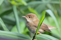 alyslala:  Reed Warbler (by nick stacey)