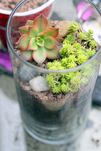 kpktran:  Kiwi on Flickr. Kiwi terrarium #2 ✿◕‿◕✿  MASTERFUL ARRANGEMENT; NICE USE OF SEDUM; ONLY 'CRITICISM' IS PERHAPS FOR A VESSEL OF THAT HEIGHT U COULD HAVE CUT DOWN A BIT ON THE SOIL LAYER DEPTH N LEFT SOME EMPTY SPACE UP TOP, U KNOW, ~RULE OF THIRDS~ — BUT ITS OK AS NOW UR PLANT CAN BREATHE BETTER