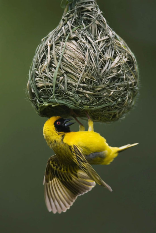 Bird-nest Photographer Johan Swanepoel