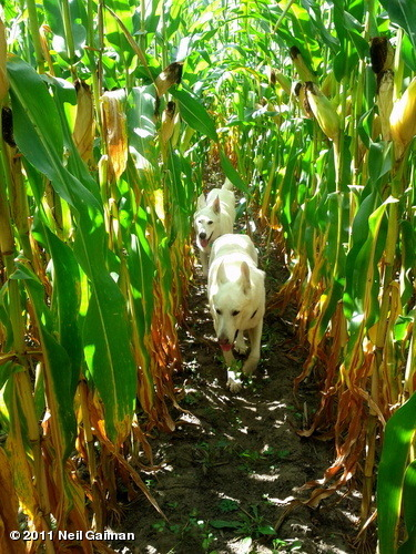 Experimentally reposting a photo of the dogs in the corn to see if I can get WhoSay and tumblr to play nicely with each other. They Walk Behind the Rows. View more Neil Gaiman on WhoSay
