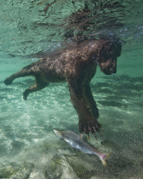 How to Fish,Bear style (via Paul Souders | Smashing Picture)