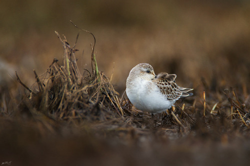 Semipalmated Sandpiper by Matt Bango on Flickr.