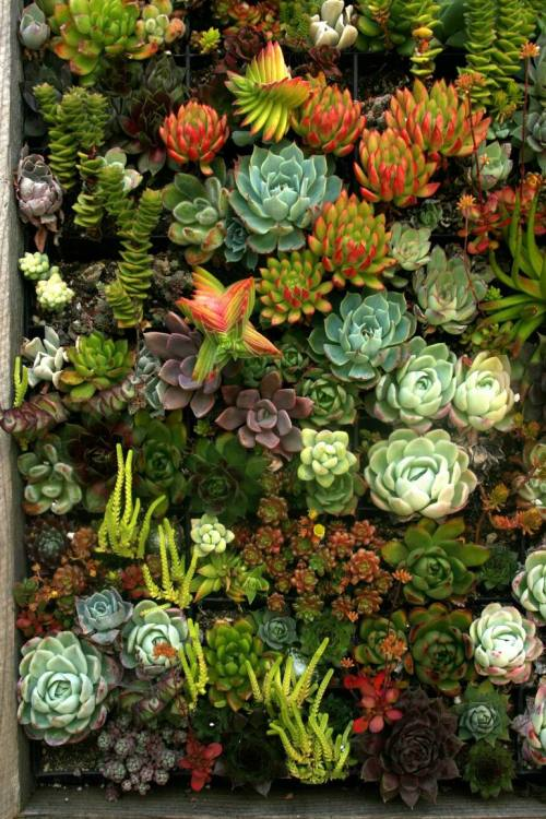 wallacegardens:  Good company: there are plenty of succulent addicts on tumblr and twitter. Photo: Fine Gardening Magazine. crystalized-bliss:  beautiful succulents…