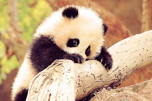 panda cub on Tumblr