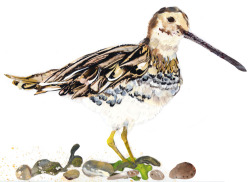 I did an illustration of a Snipe. Peep!