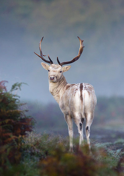 landscapelifescape:  Fallow deer, Surrey, UK Photograph: Mark Smith/British Wildlife Photography Awards (via British Wildlife Photography awards 2011 – guardian.co.uk)