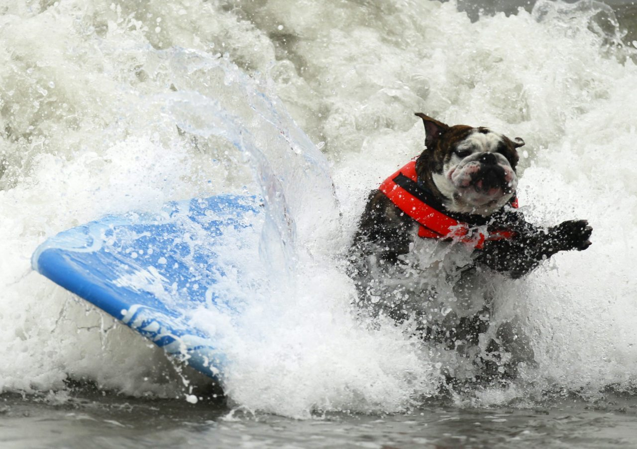 nationalpostsports:  Why YES, this is a dog surfing. A dog wipes out during a surf contest in Huntington Beach, California. (Photo: Lucy Nicholson/Reuters)