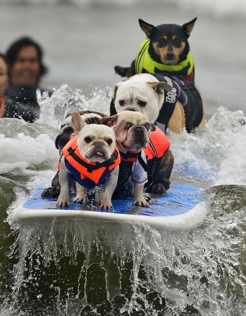 funny-pictures-uk:  Surfing dogs. The face on the second one back is priceless - funny pictures .co.uk