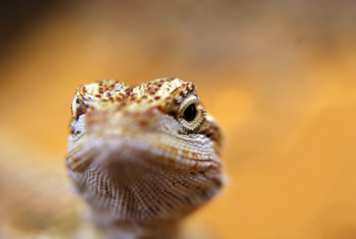 ohscience:  Bearded Dragon (submitted and taken by journey-end)