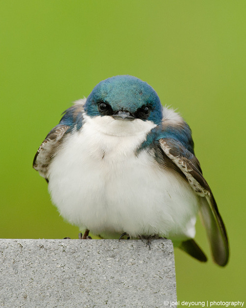 fat-birds:  Tree Swallow by Squirrel_bark on Flickr.