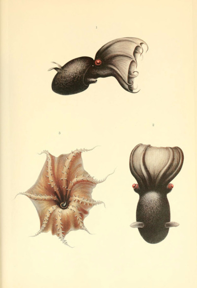 "The order that the Vampire Squid belongs to (Vampyromorphida) is an ancient phylogenic relict - Vampire Squid are the only remaining species in the order, and shares traits with both octopuses and squid. Scientific Results of the German Deepsea Expedition on Board the Steamship ""Valdivia"" - 1898-1899. The Cephalopoda, Part I: Oegopsia.Carl Chun, 1911-1914"