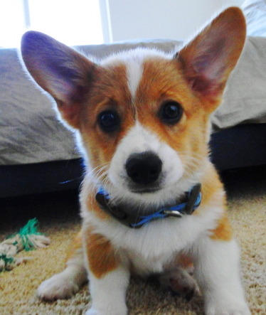 filiphresh:  My Pembroke Welsh Corgi, Tyson! He's 12 weeks old in this pic.  Awww, hello Tyson! What lovely scritchable ears and a boopable nose you have!