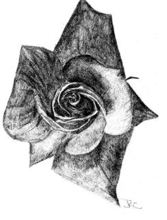 This pencil drawing was done using a photograph from a seed and bulb catalogue.