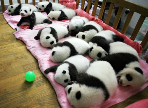 "this has nothing to do with our baby or nursery, but these panda cubs are so sweet! npr:  inothernews:  Collective nouns: ""a reblog of Tumblrs."" (Photo of a group of panda bear cubs at the Giant Panda Breeding Center in Chengdu, Sichuan Province, China by AFP-Getty via MSNBC.com)  I can't help but editorialize: Awwwwwwwwww! —Sarah"