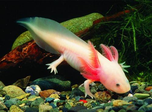 Axolotl (Ambystoma mexicanum) - Requested by Anonymous  A neotenic salamander, closely related to the Tiger Salamander. It is also called ajolote (which is also a common name for different types of salamander). The species originates from numerous lakes, such as Lake Xochimilco underlying Mexico City. Axolotls are used extensively in scientific research due to their ability to regenerate limbs. Some have indeed been found restoring the less vital parts of their  brains. They can also readily accept transplants from other individuals,  including eyes and parts of the brain—restoring these alien organs to  full functionality. In some cases, axolotls have been known to repair a  damaged limb as well as regenerating an additional one, ending up with  an extra appendage that makes them attractive to pet owners as a  novelty. As of 2010, wild axolotls are near extinction due to urbanization in Mexico City and polluted waters.