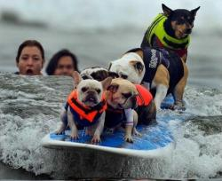 "brassgadgets:  ""Surf Dogs of the Day: Because you can never have too many surfing dog competitions, two separate surfing dog events took place over the weekend in California — Huntington Beach's third annual Surf City Surf Dog competition, and Del Mar's sixth Annual Surf Dog Surf-a-Thon.   The latter's homepage reports that the event managed to raise nearly $100k in donations to support a myriad of charities, while the former produced a new Guinness World Record for ""most dogs on a surfboard."" So they both did some good! Check out photos from Surf City here; Surf-a-Thon photos can be found here."" via The Daily What"