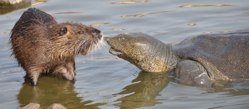 Nutria and soft-shelled turtle photographed by xor