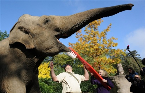 funny-pictures-uk:  An elephant participates in dental hygiene day at a Hamburg zoo.